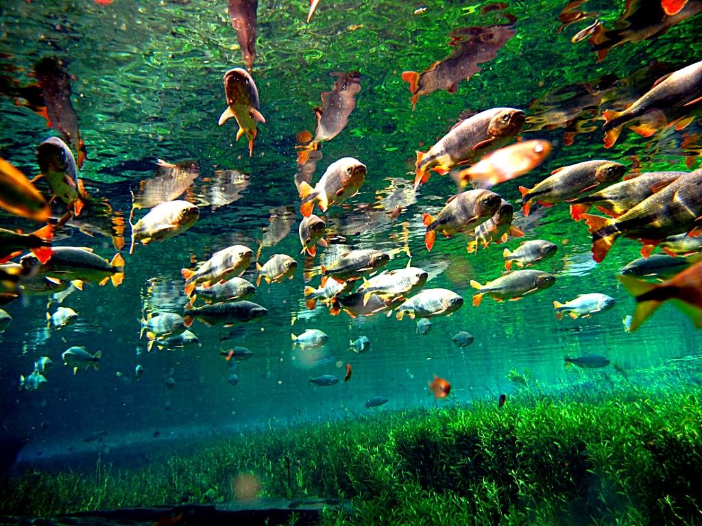 Peixes Fauna Brasil