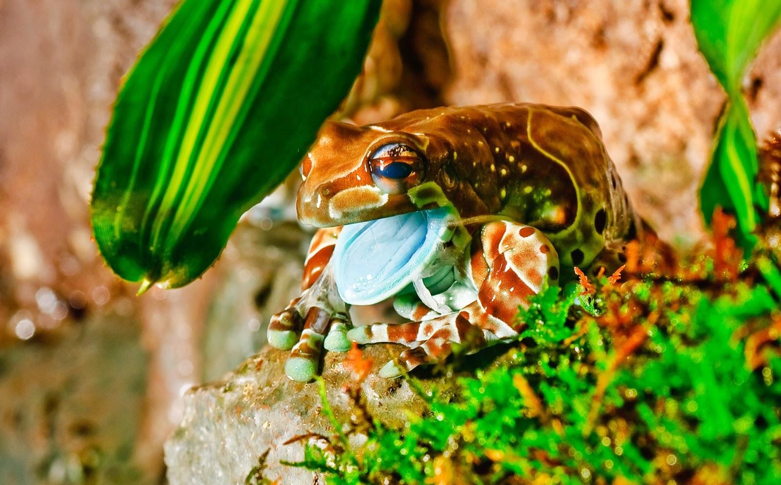 Sapo Fauna do Brasil